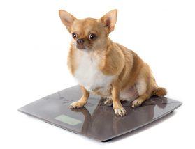体重を計る犬